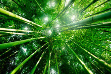 Souhaitez Bambou Forêt