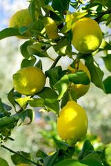 Limões na árvore.