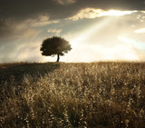 Fototapety Solitary Oak Tree At Sunset