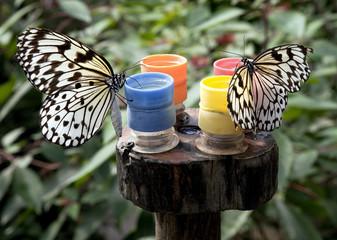 Two Paper Kite Butterfly Idea leuconoe sitting on feeders