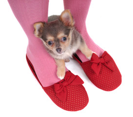 Chihuahua in the Slippers