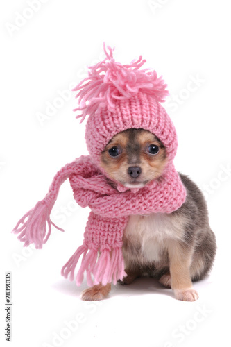 Foto op Canvas Dragen Chihuahua in Winter Clothes