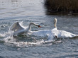 Mute Swans Fighting