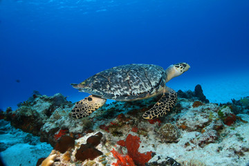 Hawksbill Turtle Swimming - Cozumel Mexico