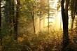 Picturesque autumnal forest backlit by the rising sun