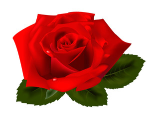 Beautiful red rose on a white background. Vector.