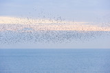 Natural migration of European starlings in murmuration poster
