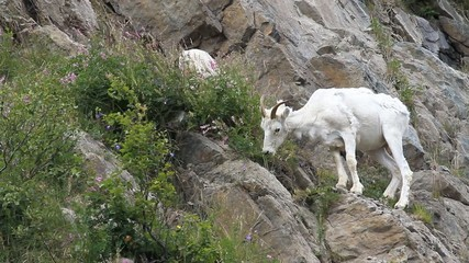 Dall Sheep grazing on mountain P HD 1548