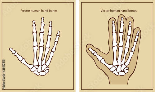 Health and anatomy vector human hand