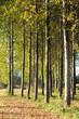 pioppeto alberi 1407