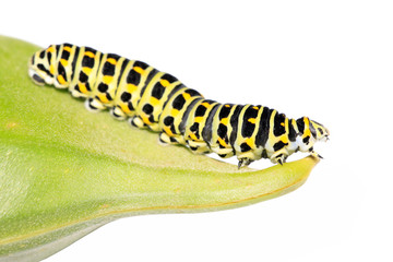 butterfly larva in a leaf