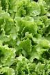 cagette de salades vertes