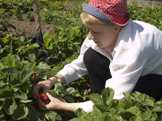 Country efforts. The woman collects a strawberry.