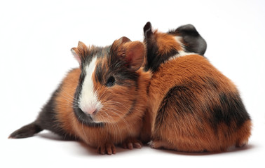 Guinea pig babies on white