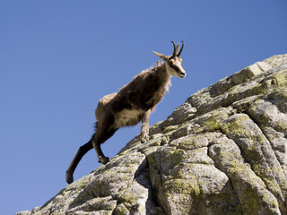 Tatra chamois climbing the rock
