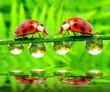 Two ladybugs on wet gras