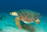 Loggerhead Sea Turtle-Caretta caretta