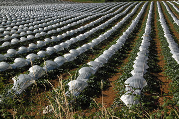 Rows of Melons under Cloches in SW France