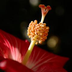 pink hibiscus 2