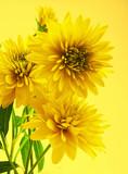 Fototapeta kwiat - żółty - Kwiat