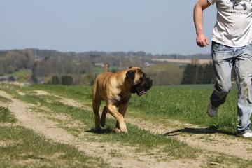 bulmastiff running with his master bullmastiff et maître