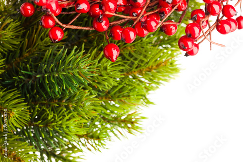 branch of Christmas tree and european holly