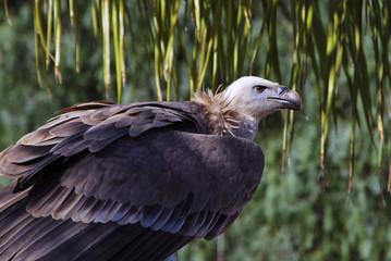 Vulture protrait