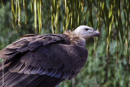 Vulture protrait