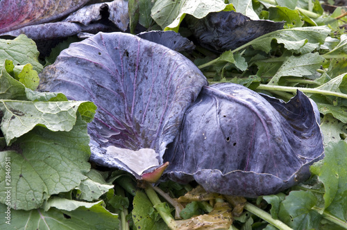 Red cabbage leaves on a compost heap