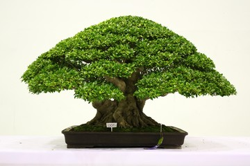Banyan or ficus bonsai tree .