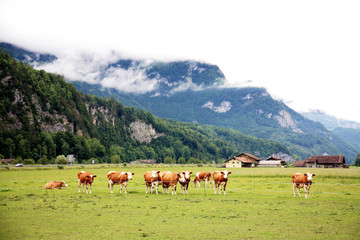 Group cows on the field in deeply mist in alps