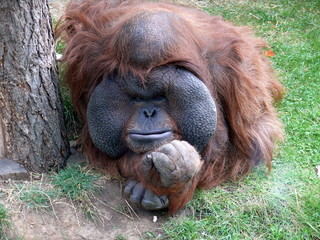Orangutan  (Pongo)