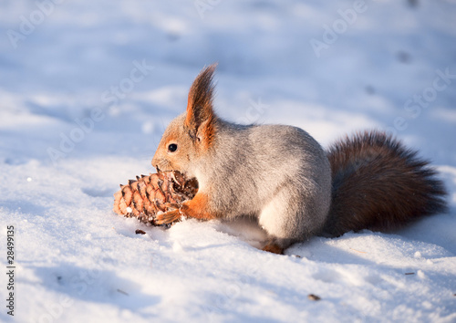 Squirrel with a cedar cone