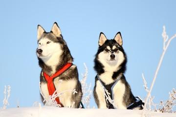 zwei Hunde Huskies im Winter