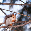 Squirrel with a nut sitting on a branch