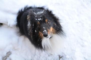 Sheltie mit Schnee im Gesicht 2