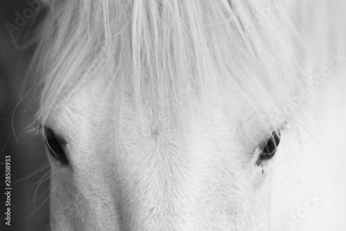 White horse's black and white art portrait - 28508933