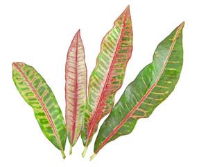 colorful Croton leaf