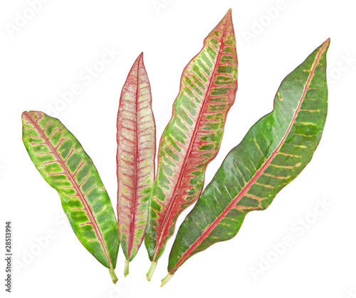 colorful Croton leaf