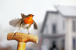 European Robin flapping it's wings