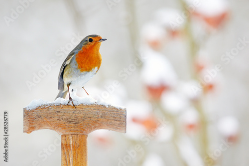 European Robin perching on a spade handle in winter..