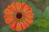 Beautiful Single Orange Zinnia Flower