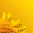 macro of sunflower leaf in summer - 28532136