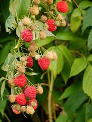 """Himbeere, Rubus idaeus. Herbsthimbeere """"Autumn Bliss""""."""