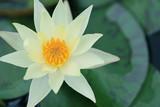 Žlutý Lotus