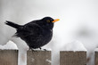 male Common Blackbird perching on a garden fence