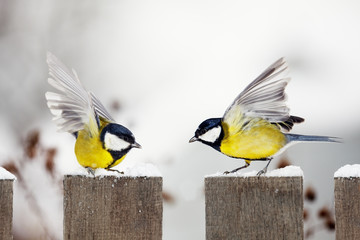 two Great Tits quarreling on a garden fence
