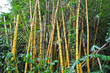 yellow bamboo plants
