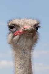 Подозрительный страус
