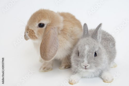 Holland Lop and Netherland Dwarf.